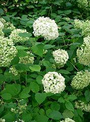 178px-Hydrangea_arborescens_'annabelle'2