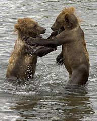 192px-Brown_bear_cubs_wrestling
