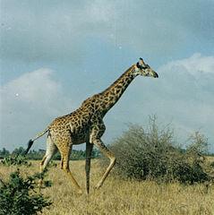 239px-GiraffeRunning