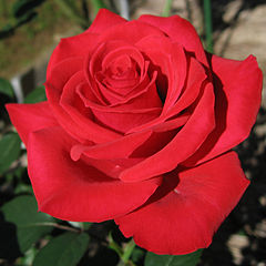 240px-Rosa_Red_Chateau01