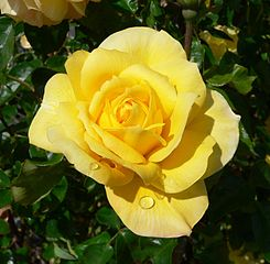 245px-Rosa_Gold_Glow_2