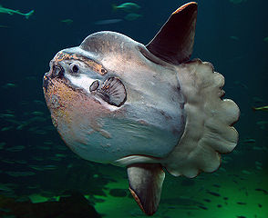 294px-Sunfish2