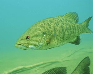 300px-Detailed_underwater_photo_of_smallmouth_bass_fish_micropterus_dolomieu