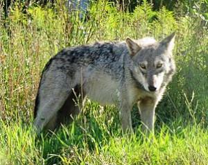 302px-Gray_Wolf_Seney_NWR_2