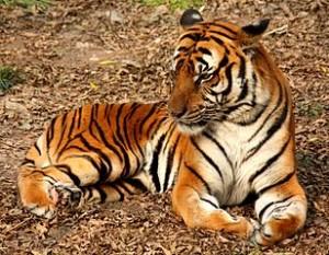 308px-2012_Suedchinesischer_Tiger