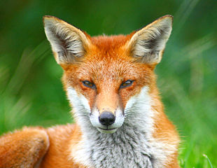 310px-Looking_Foxy