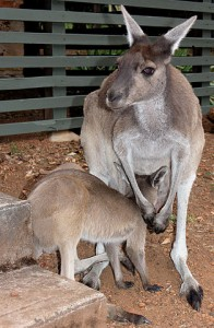 314px-Grey_Roo_with_Joey_SMC_2006