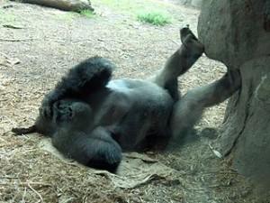 319px-Gorilla_on_back