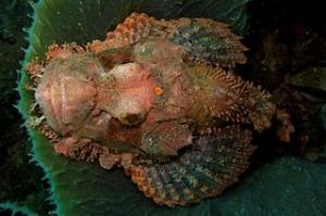 320px-38-EastTimor-Dive_Behau_13_(Scorpion_Fish)-APiazza