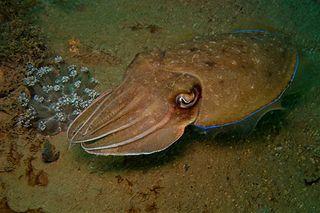320px-42-EastTimor-Dive_1_Tasi-Tolu_41_(Cuttle-Fish)-APiazza