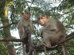 320px-A_Hokenakal_monkey_in_Hokenakal,_Dharmapuri_district,_Tamil_Nadu,_India_
