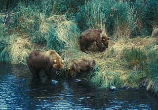 320px-A_brown_bear_sow_searches_for_food_with_her_two_yearlings