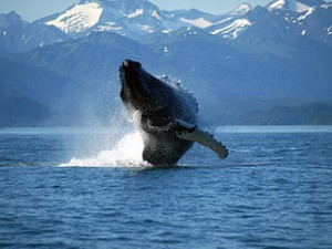 320px-Adult_Humpback_Whale_breaching