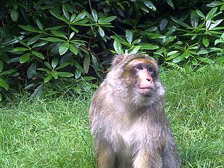 320px-Barbary_macaque_at_Trentham_Monkey_Forest