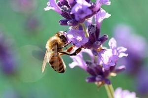 320px-Biene_auf_lavendel