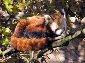 320px-Bristol_zoo_red_panda_arp