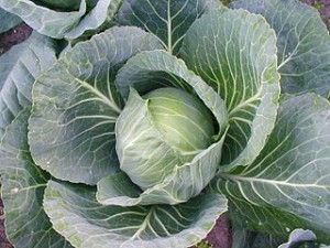 320px-Cabbage_Estonia