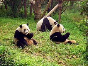 320px-Chengdu-pandas-d10