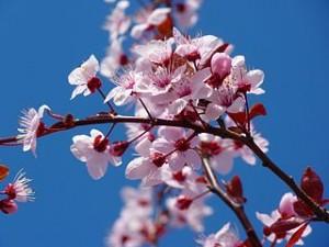 320px-Cherry_Blossom