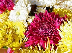 320px-Chrysanthemums