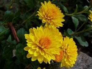 320px-Chrysanthemums_(2)