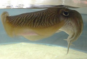 320px-Cuttlefish