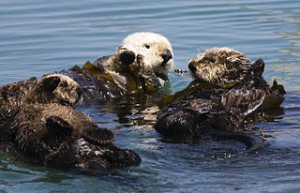 320px-Four_sea_otters