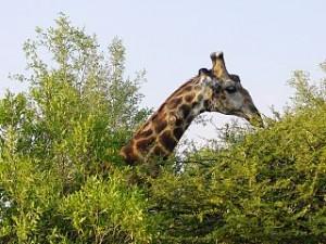 320px-Giraffa_camelopardalis_Kruger_Park
