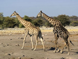 320px-Giraffa_camelopardalis_angolensis_(courting)