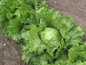 320px-Iceberg_lettuce_(IJssla_krop)
