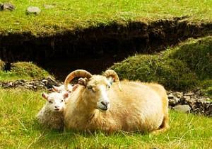 320px-Icelandic-Sheep-20030608