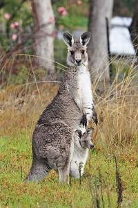 320px-Kangaroo_and_joey03