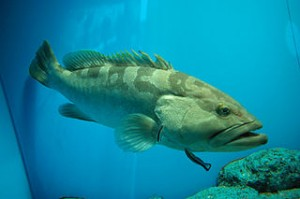 320px-Kelp_bass_with_streak_cleaner_wrasse