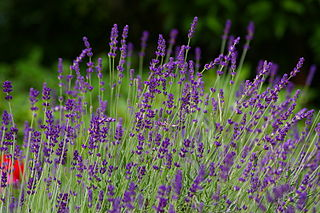 320px-Lavendel6