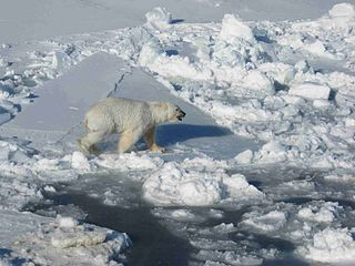 320px-Male_polar_white_bear_walks_on_pack_ice_ursus_maritimus