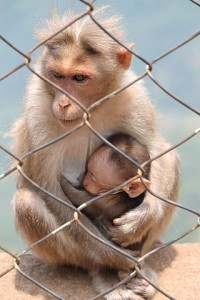 320px-Monkey_and_her_kid_at_Ooty