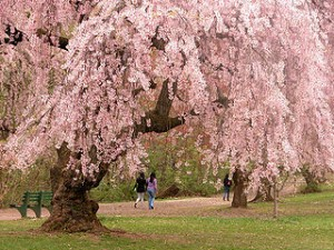 320px-Newark_cherry_blossoms