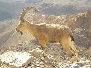 320px-Nubian_Ibex_in_Negev