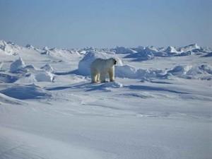 320px-Polar_white_bear_ursus_maritimus