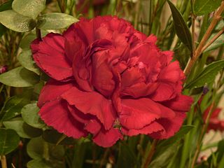 320px-Red_Carnation_Flower