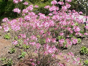 320px-Rhododendron_vaseyi2