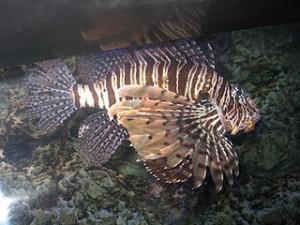 320px-Scorpion_fish_from_kuwait_(8)