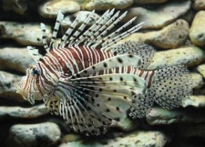 320px-ScorpionfishVeracruz