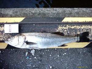 320px-Sea_Bass(side