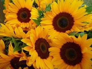 320px-Sonnenblumen_im_Bund