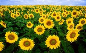 320px-Sunflowers