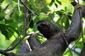 320px-Three_toed_sloth_female