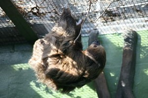 320px-Two-Toed_Sloth_(Choloepus_didactylus)_(2891843567)