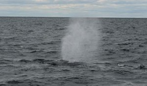 320px-Whale_off_the_shore_of_Cape_Cod,_Massachusetts