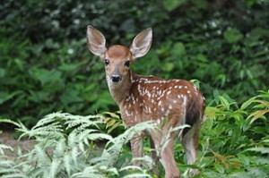 320px-White_Tailed_Deer
